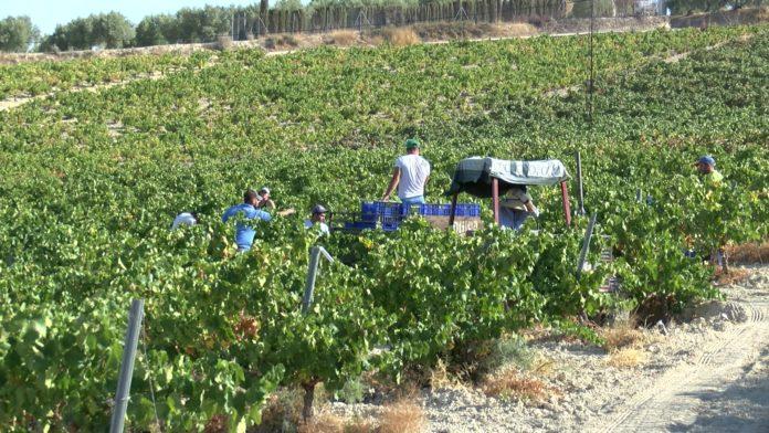 Recolección uva